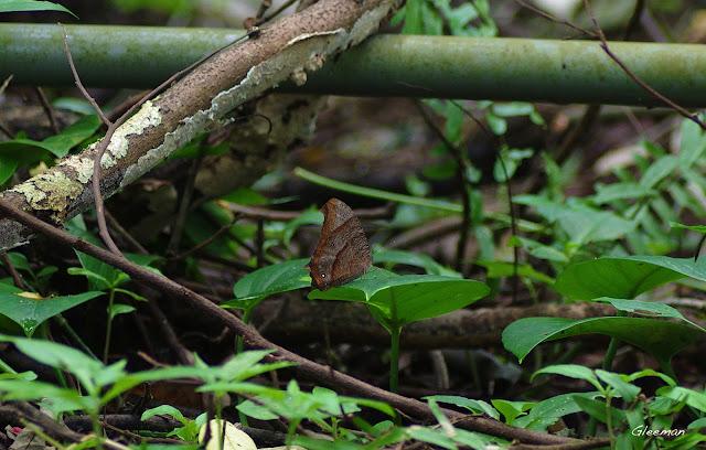 雞南山散步,森林暮眼蝶