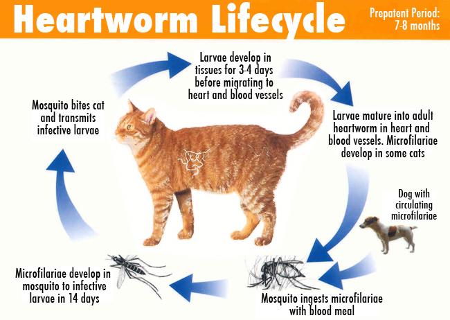 Woof Pack Educational League : HW - The Wormy Truth About Heartworm