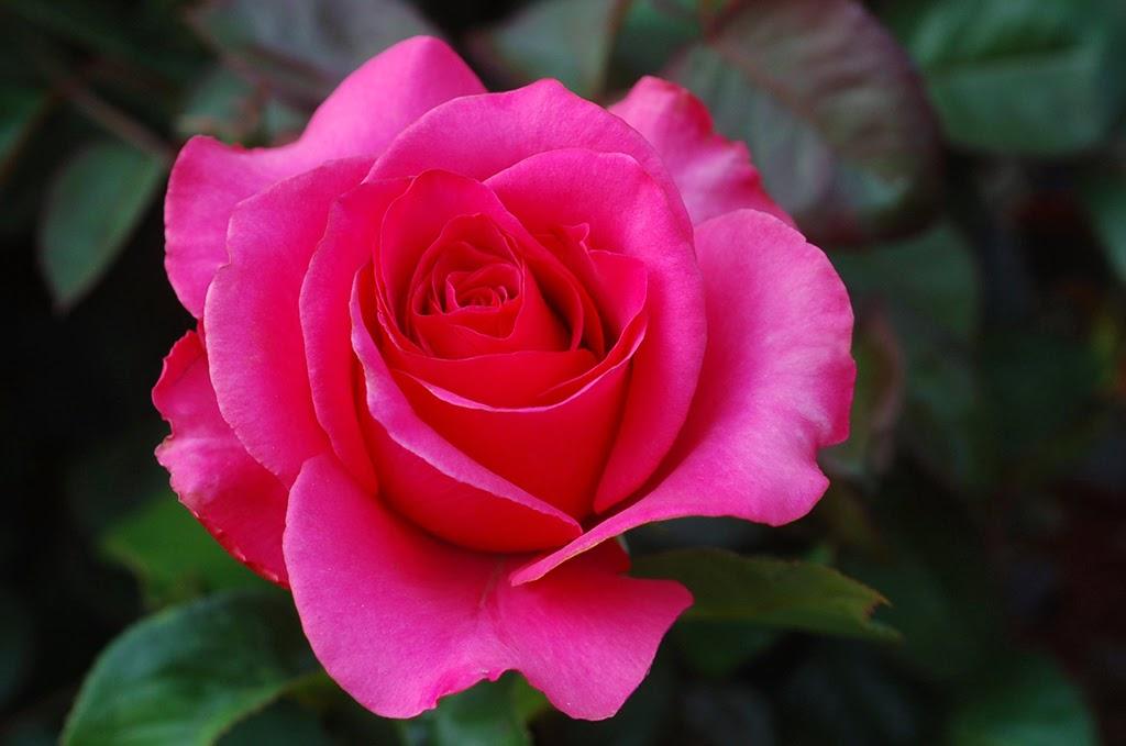 Gift of Beautiful Pink Magenta Rose Flowers Image Online