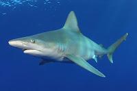 Sandbar Shark - Carcharhinus Plumbeus