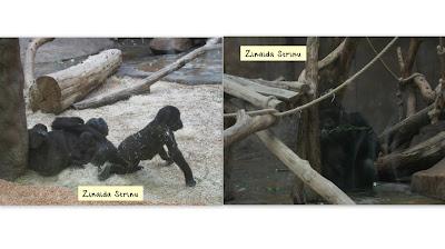 zoo-praga-familia-de-gorile