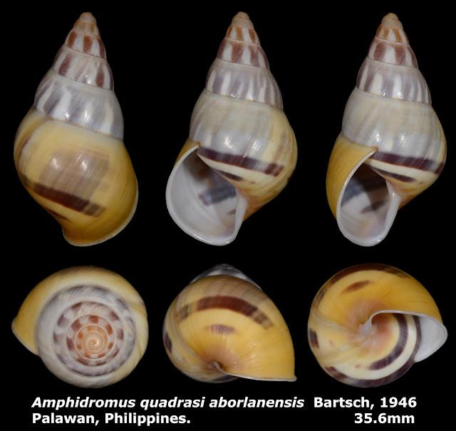 Amphidromus quadrasi aborlanensis 35.6mm