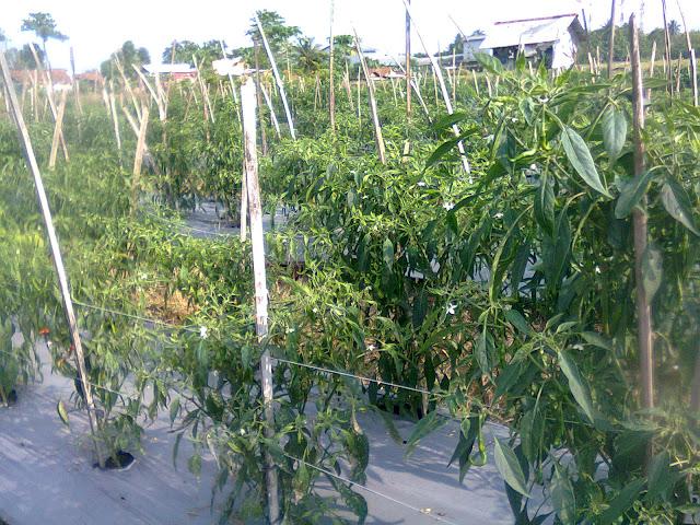 Perkebunan Cabe Hortikultura