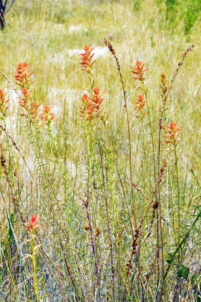 Castilleja linariifolia_4835