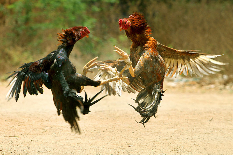 Sabong (Cockfighting) Nation, not a game for Chickens