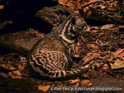 Malayan Civet (Viverra tangalunga)