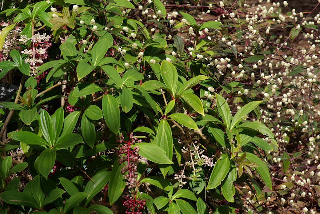 Medinilla cummignii 'Kinabalu' and Alternanthera dentata 'Purple Knight'