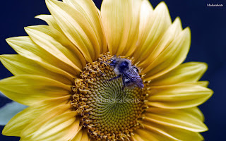 Flower images, Wide screen wallpapers,fresh flowers,Beautiful flowers,Gerbera_Daisy_Flower_Wide screen_insect ,