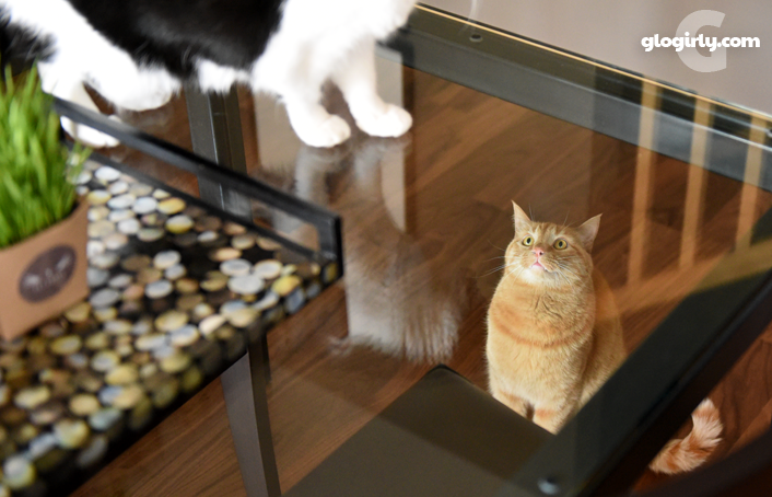 Waffles looking at Katie through glass table with cat grass