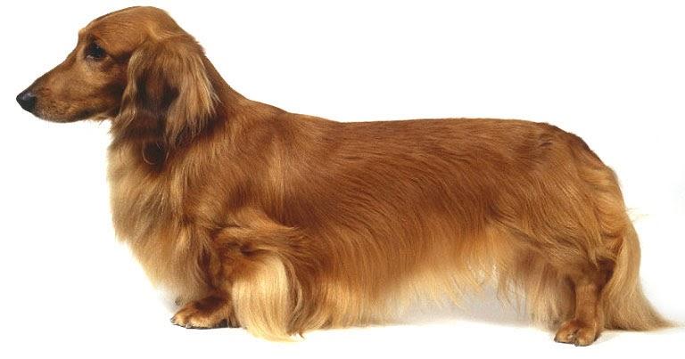 S A Organ Dachshund Breeds Dog: Nervous Sy...