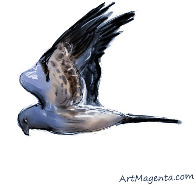 Montagu's harrier sketch painting. Bird art drawing by illustrator Artmagenta.