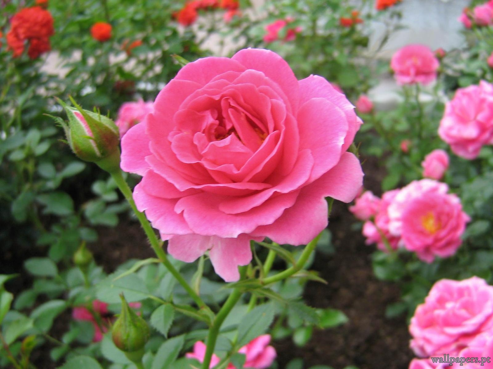 rosas no jardim de deus:sábado, 17 de novembro de 2012