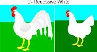 c-recessivewhite.jpg