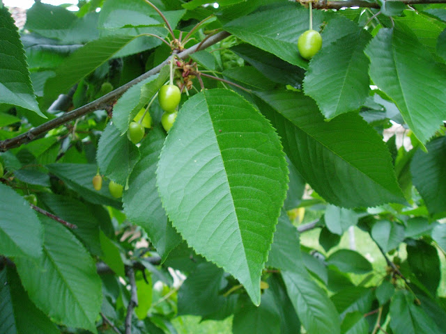 cerezas-verdes-prunus-avium