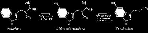 sintesi serotonina, da triptofano via triptofano idrossilasi ed amminoacido aromatico decarbossilasi