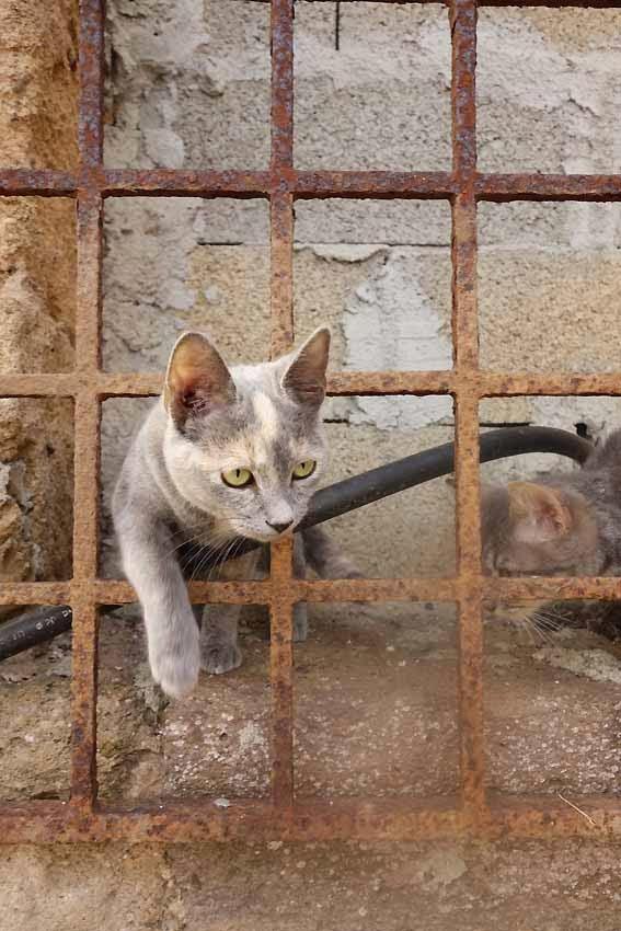 chats derrière la grille de la tour de Porto Conte