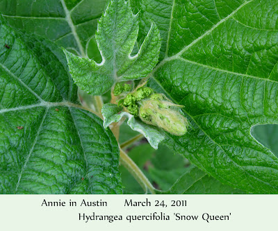 Annieinaustin, Oakleaf hydrangea bud closeup