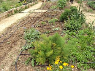 parcela de plantas aromáticas, medicinales y culinarias del huerto escolar