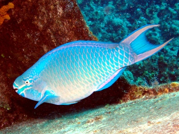 Queen Parrotfish - Fishes