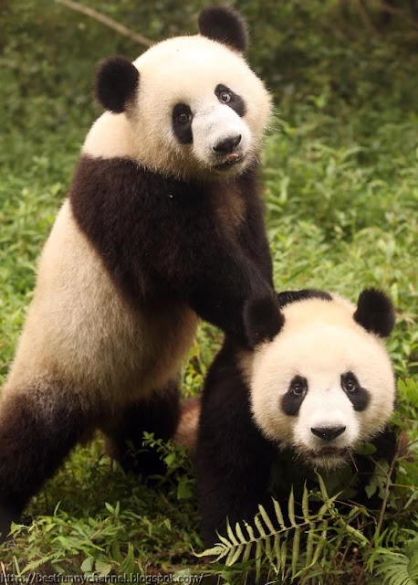 panda bears pictures 3