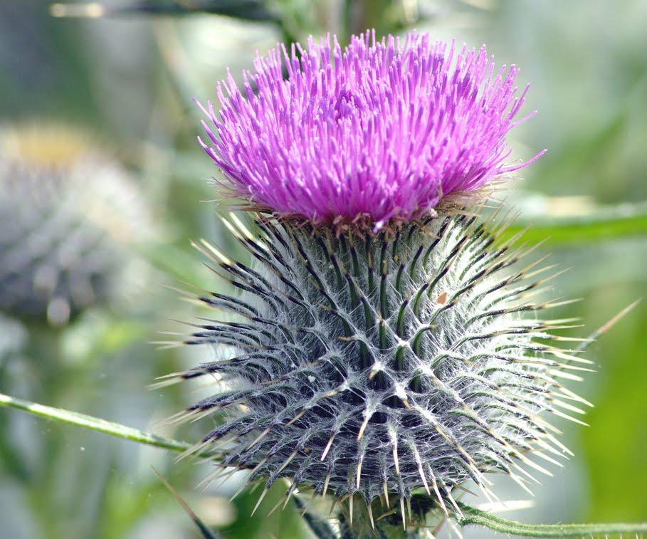 North Fife Scottish Thistle