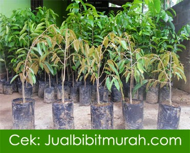 jual bibit murah, aneka tanaman, bibit tanaman