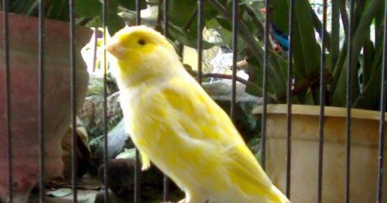 budidaya burung tips cara membedakan kenari jantan dan betina