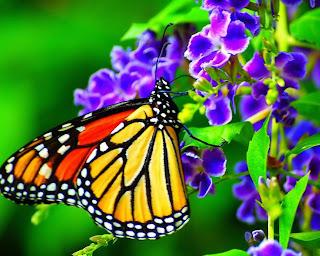 hermosa mariposa sobre flores lilas