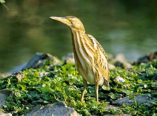 Indian birds - Little bittern - Ixobrychus minutus