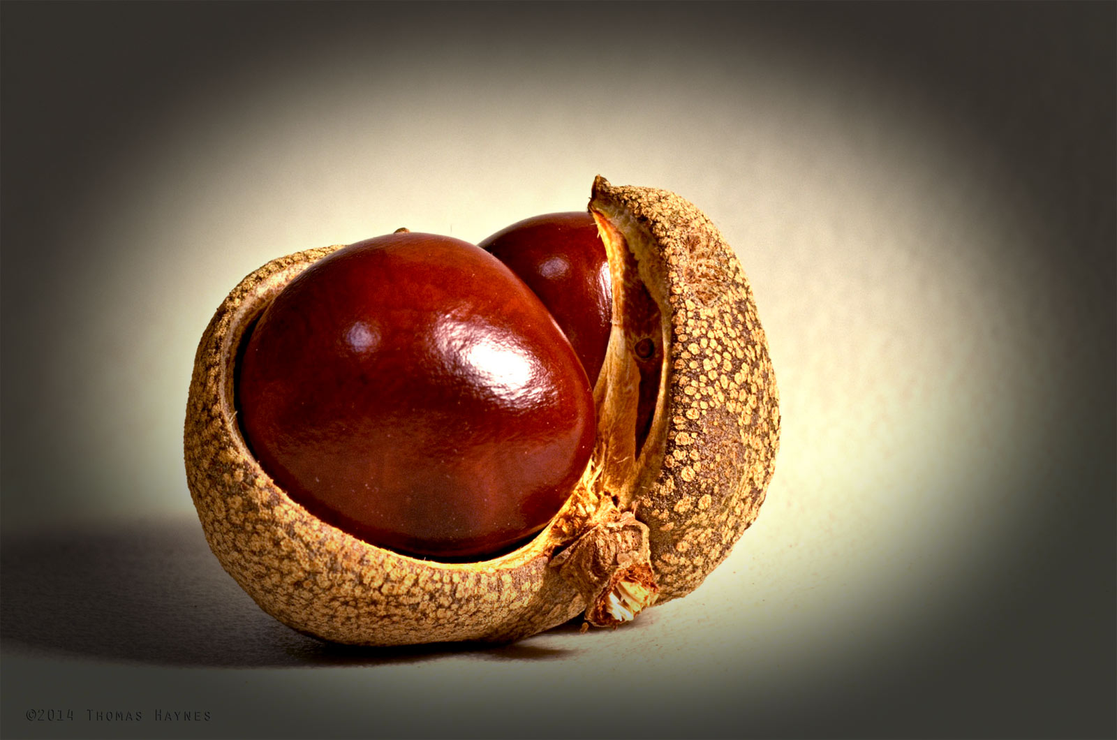 Buckeye seed and pod, Thomas Haynes Photoshoot