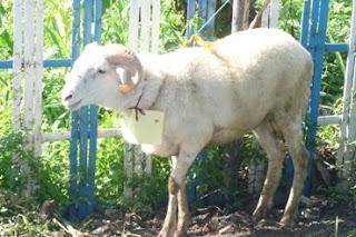 hidangan dari kambing