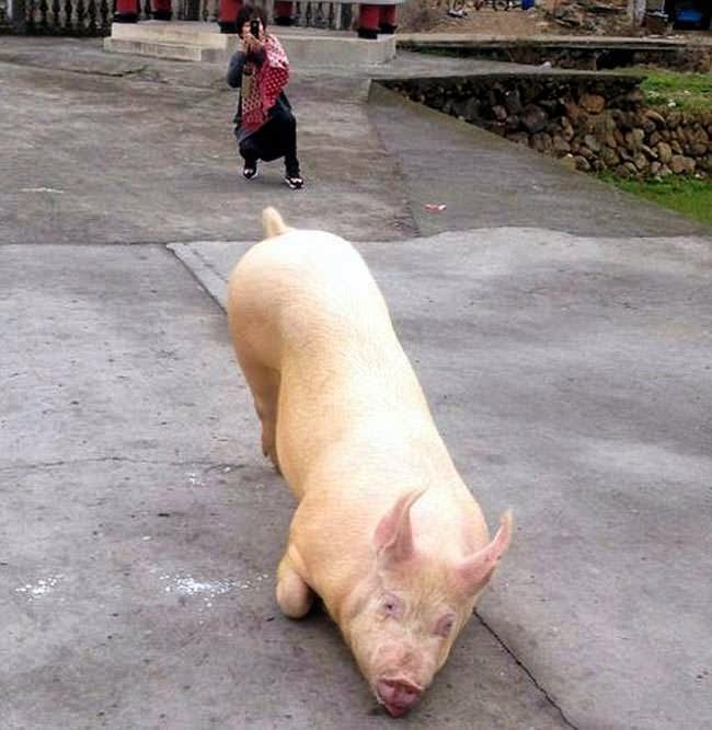 cerdo arrodillo varias horas