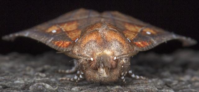 Herald, Scoliopteryx libatrix.  Erebidae.   Hayes, 11 May 2015.