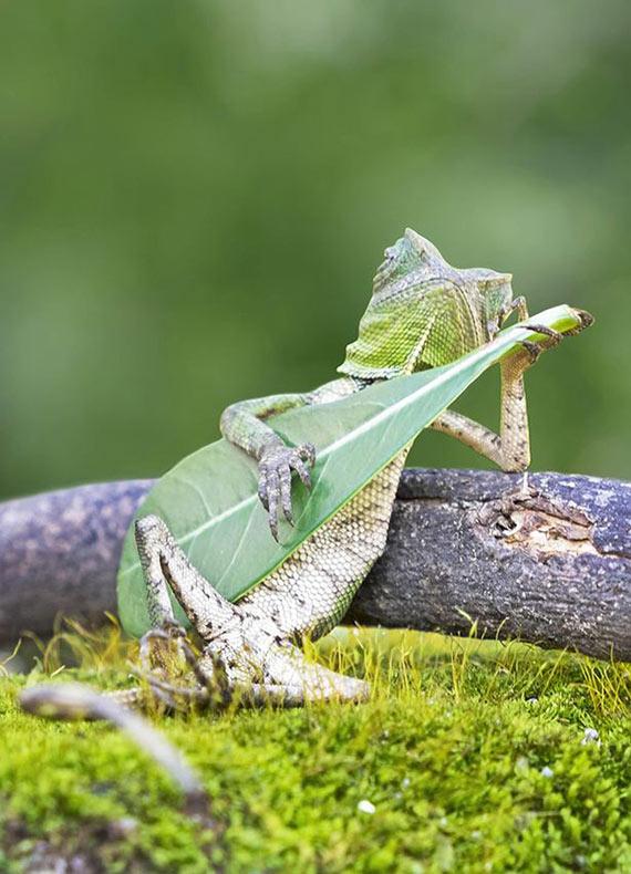 Lagartija captado tocando su hoja guitarra en Indonesia