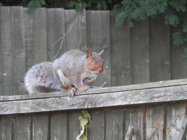 One eyed squirrel. Garden, September 2015.  secondhandsusie.blogpsot.co.uk #autumngarden #ukgarden #growyourown #ukblogger