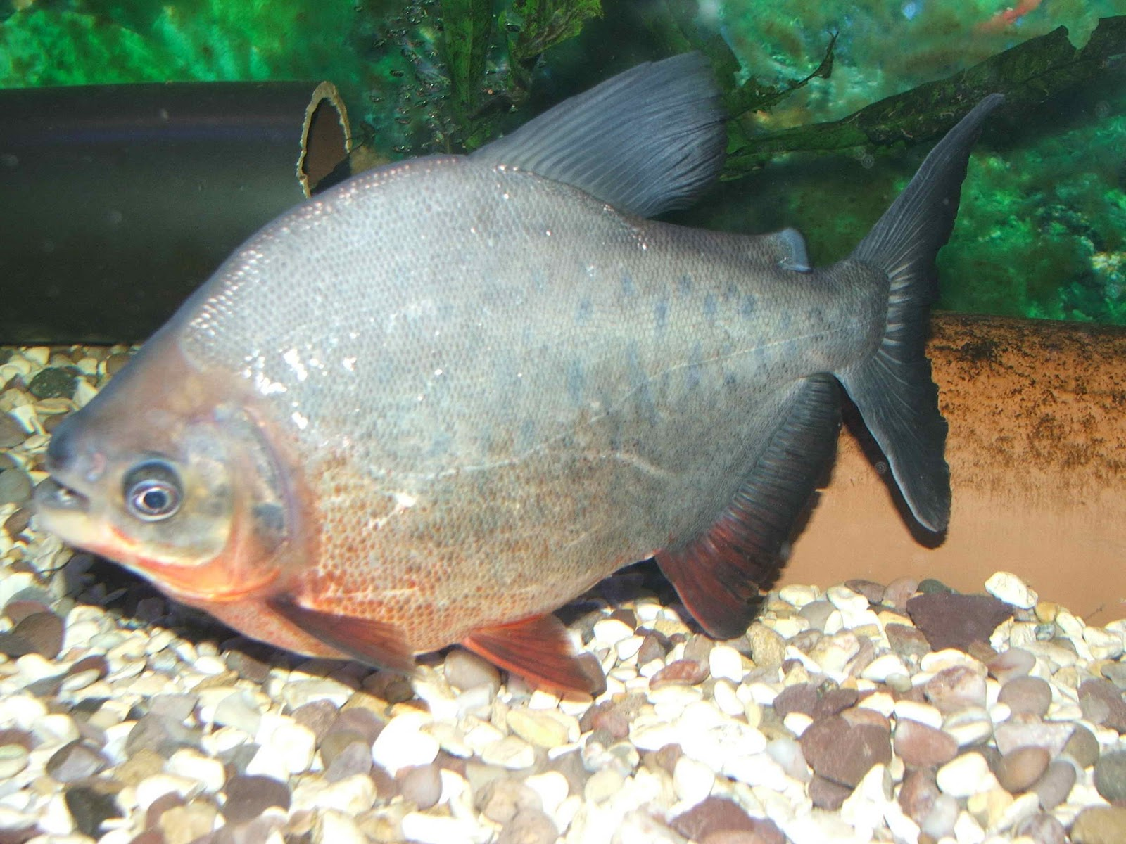 Nature 39 s beauty red belly fish red bellied piranha for Pez cachama