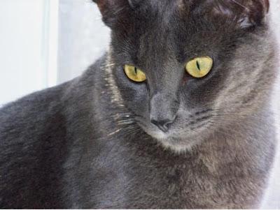 Mèo Nga mắt xanh (Blue Russian)