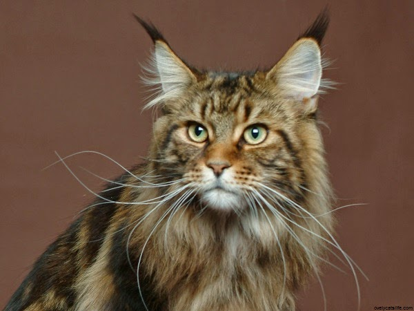 Photo chat mignon maine coon