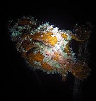 Frogfish - Honolulu scuba diving