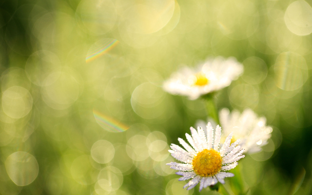 Windows 8 White Flowers Wallpapers