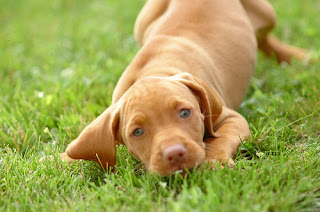 Vizsla Puppy Picture