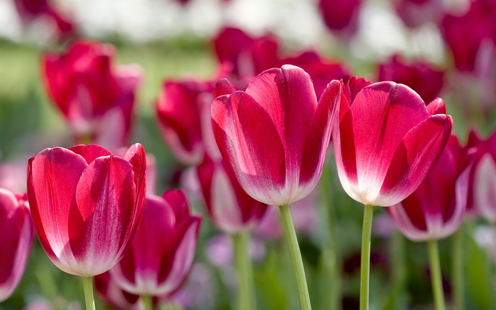 Tulips most beautiful flowers in the world izmirmasajfo