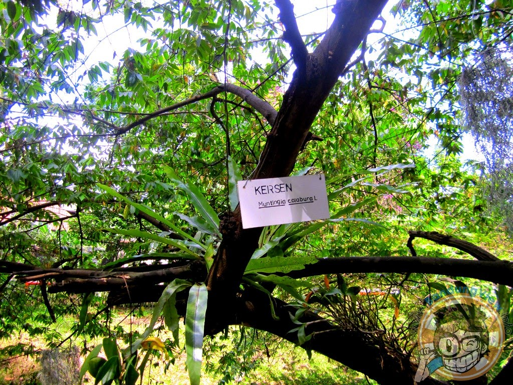 Kersen - Taman pustaka bunga kandaga puspa