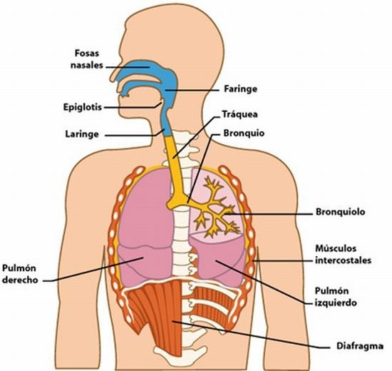 El Sistema Respiratorio Humano: Órganos que integran el Aparato ...