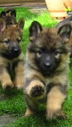 PUPPY GERMAN SHEPARDS ♥
