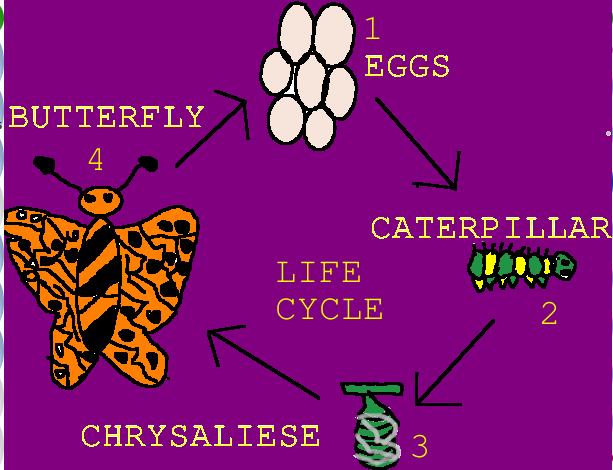 Lorenzo Life Cycle Of A Butterfly
