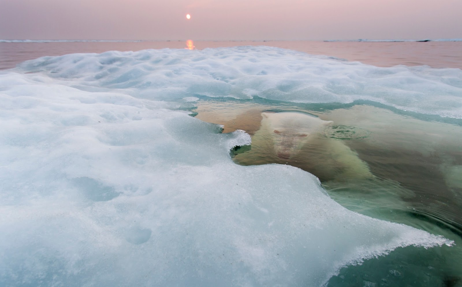 Photograph, Paul Souders: Canada, Manitoba, Churchill, Polar Bear (Ursus maritimus) hides while submerged at edge of melting ice floe on summer evening.