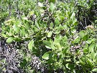Manfaat dan khasiat daun beluntas