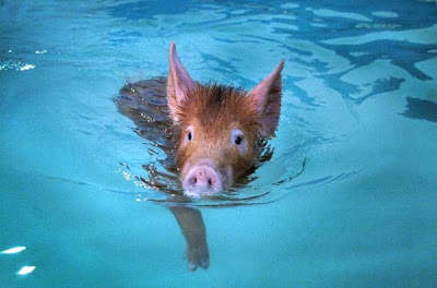 [Image: pig_swimming-733268.jpg]