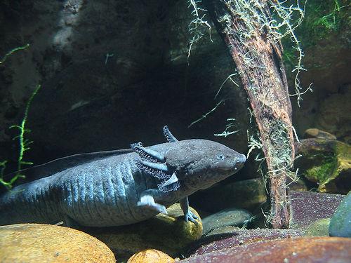 interrobang - fish with hands- السمكة التي لها أرجل و أيدي -الأكسولوتل أو السمندل أو عفريت الماء-  Axolotl